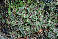 Green Spice Coral Bells (Heuchera 'Green Spice') at Vermeer's Garden Centre