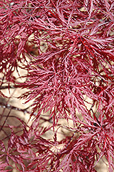 Red Dragon Japanese Maple (Acer palmatum 'Red Dragon') at Vermeer's Garden Centre