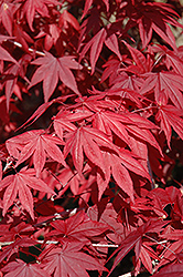 Emperor I Japanese Maple (Acer palmatum 'Wolff') at Vermeer's Garden Centre