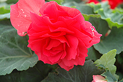 Nonstop® Bright Red Begonia (Begonia 'Nonstop Bright Red') at Vermeer's Garden Centre