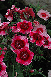 Super Parfait™ Raspberry Pinks (Dianthus 'Super Parfait Raspberry') at Vermeer's Garden Centre