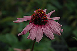 Primadonna Deep Rose Coneflower (Echinacea purpurea 'Primadonna Deep Rose') at Vermeer's Garden Centre