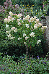 Limelight Hydrangea (tree form) (Hydrangea paniculata 'Limelight (tree form)') at Vermeer's Garden Centre
