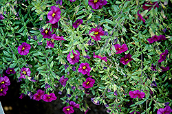 Noa Black Purple Calibrachoa (Calibrachoa 'Noa Black Purple') at Vermeer's Garden Centre