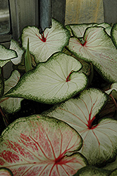 White Wonder Caladium (Caladium 'White Wonder') at Vermeer's Garden Centre