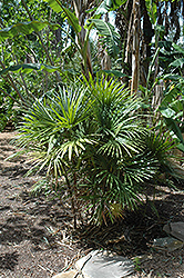 Finger Palm (Rhapis multifida) at Vermeer's Garden Centre