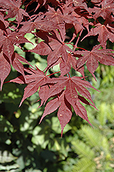 Purple Ghost Japanese Maple (Acer palmatum 'Purple Ghost') at Vermeer's Garden Centre