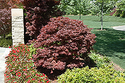 Rhode Island Red Japanese Maple (Acer palmatum 'Rhode Island Red') at Vermeer's Garden Centre