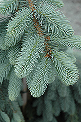 The Blues Colorado Blue Spruce (Picea pungens 'The Blues') at Vermeer's Garden Centre