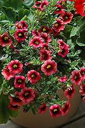 Superbells® Coralberry Punch Calibrachoa (Calibrachoa 'Superbells Coralberry Punch') at Vermeer's Garden Centre
