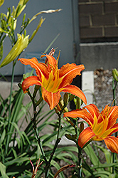 Orange Daylily (Hemerocallis fulva) at Vermeer's Garden Centre