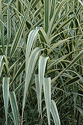 Peppermint Stick Giant Reed Grass (Arundo donax 'Peppermint Stick') at Vermeer's Garden Centre