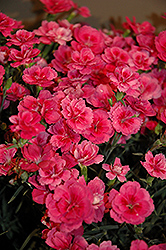 EverLast™ Dark Pink Pinks (Dianthus 'EverLast Dark Pink') at Vermeer's Garden Centre