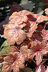Brass Lantern Foamy Bells (Heucherella 'Brass Lantern') at Vermeer's Garden Centre