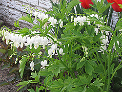 White Bleeding Heart (Dicentra spectabilis 'Alba') at Vermeer's Garden Centre