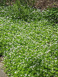 Sweet Woodruff (Galium odoratum) at Vermeer's Garden Centre