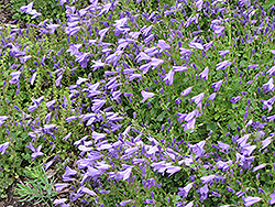 Birch Hybrid Bellflower (Campanula 'Birch Hybrid') at Vermeer's Garden Centre