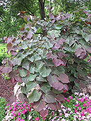 Forest Pansy Redbud (Cercis canadensis 'Forest Pansy') at Vermeer's Garden Centre