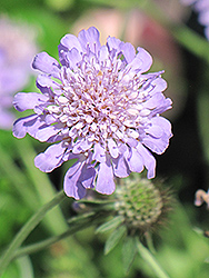 Butterfly Blue Pincushion Flower (Scabiosa 'Butterfly Blue') at Vermeer's Garden Centre