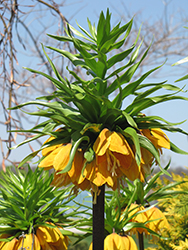 Striped Beauty Fritillaria (Fritillaria imperialis 'Striped Beauty') at Vermeer's Garden Centre