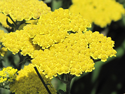 Moonshine Yarrow (Achillea 'Moonshine') at Vermeer's Garden Centre