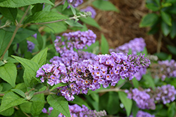 Lo And Behold® Blue Chip Dwarf Butterfly Bush (Buddleia 'Lo And Behold Blue Chip') at Vermeer's Garden Centre