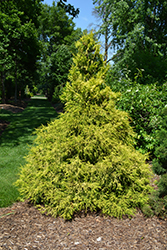 Golden Mop Falsecypress (Chamaecyparis pisifera 'Golden Mop') at Vermeer's Garden Centre