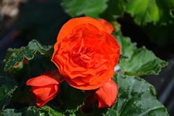 Nonstop® Orange Begonia (Begonia 'Nonstop Orange') at Vermeer's Garden Centre