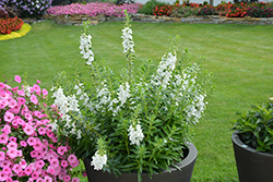 Angelface® Super White Angelonia (Angelonia angustifolia 'Angelface Super White') at Vermeer's Garden Centre