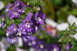 Angelface® Super Blue Angelonia (Angelonia angustifolia 'Angelface Super Blue') at Vermeer's Garden Centre