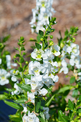 Angelina White Angelonia (Angelonia angustifolia 'Angelina White') at Vermeer's Garden Centre