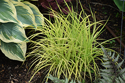 Bowles Golden Sedge (Carex elata 'Bowles Golden') at Vermeer's Garden Centre