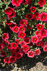 Superbells® Pomegranate Punch Calibrachoa (Calibrachoa 'Superbells Pomegranate Punch') at Vermeer's Garden Centre