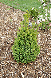 Green Mountain Boxwood (Buxus 'Green Mountain') at Vermeer's Garden Centre