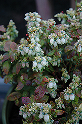 Jelly Bean® Blueberry (Vaccinium 'ZF06-179') at Vermeer's Garden Centre