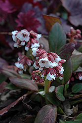Dragonfly™ Angel Kiss Bergenia (Bergenia 'Angel Kiss') at Vermeer's Garden Centre