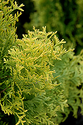 Amber Gold Arborvitae (Thuja occidentalis 'Amber Gold') at Vermeer's Garden Centre