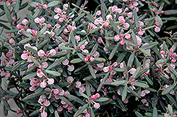 Blue Ice Bog Rosemary (Andromeda polifolia 'Blue Ice') at Vermeer's Garden Centre