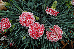 Coral Reef Pinks (Dianthus 'WP07OLDRICE') at Vermeer's Garden Centre