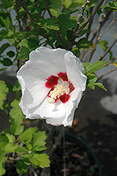 Red Heart Rose Of Sharon (Hibiscus syriacus 'Red Heart') at Vermeer's Garden Centre