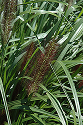 Red Head Fountain Grass (Pennisetum alopecuroides 'Red Head') at Vermeer's Garden Centre