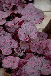 Grape Expectations Coral Bells (Heuchera 'Grape Expectations') at Vermeer's Garden Centre