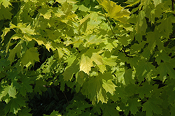 Princeton Gold Maple (Acer platanoides 'Princeton Gold') at Vermeer's Garden Centre