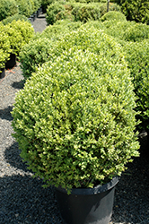 Green Mountain Boxwood (globe form) (Buxus 'Green Mountain (globe)') at Vermeer's Garden Centre