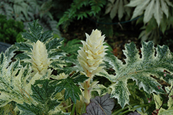Whitewater Acanthus (Acanthus 'Whitewater') at Vermeer's Garden Centre