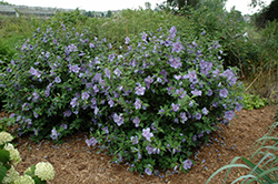 Blue Chiffon® Rose of Sharon (Hibiscus syriacus 'Notwoodthree') at Vermeer's Garden Centre