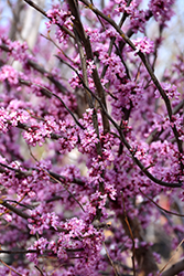Ace Of Hearts Redbud (Cercis canadensis 'Ace Of Hearts') at Vermeer's Garden Centre