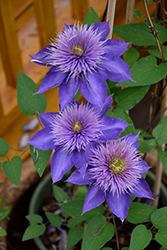 Multi Blue Clematis (Clematis 'Multi Blue') at Vermeer's Garden Centre