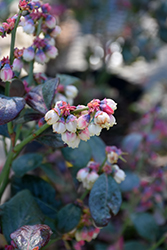 Pink Icing® Blueberry (Vaccinium 'ZF06-079') at Vermeer's Garden Centre