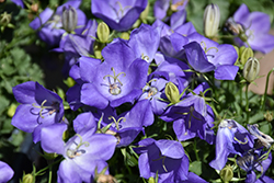 Rapido Blue Bellflower (Campanula carpatica 'Rapido Blue') at Vermeer's Garden Centre